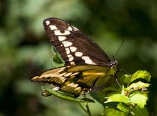 Free Giant Swallowtail Butterfly Royalty Free Stock Images - 8260779