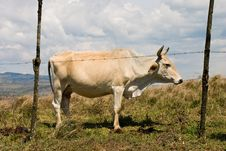 Free White Bull Royalty Free Stock Photography - 8261217