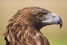 Free Golden Eagle Face Stock Photography - 8261282
