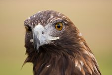 Free Golden Eagle Face Stock Photo - 8261290