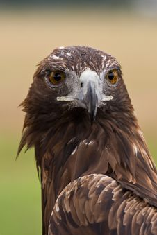 Free Golden Eagle Face Stock Photography - 8261372