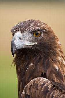 Free Golden Eagle Face Royalty Free Stock Photos - 8261388