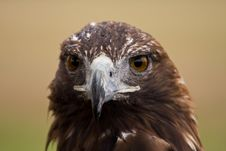 Free Golden Eagle Face Royalty Free Stock Photo - 8261445