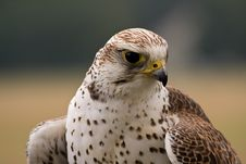 Free Saker Falcon Face Royalty Free Stock Photography - 8261677
