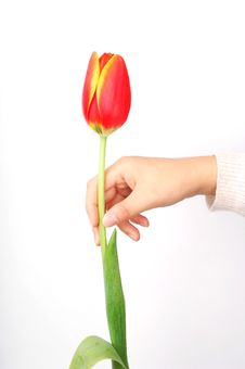 Free Tulip And Hand Stock Image - 8262581