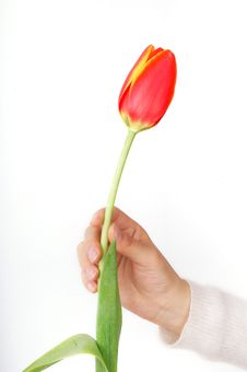 Free Tulip And Hand Stock Photography - 8262582