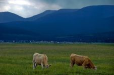 Free Cattle And Rainstorms Stock Photography - 8262732