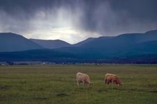 Free Cattle And Rainstorms Royalty Free Stock Image - 8262746
