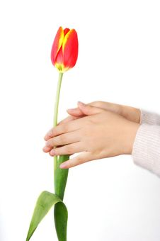 Free Tulip And Hand Stock Image - 8262761