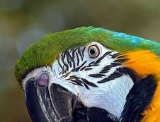 Free Macaw Parrot Face Stock Photos - 8263083