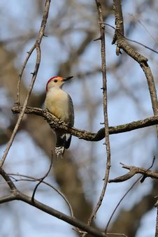 Free Red Bellied Woodpecker Stock Images - 8263124