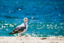 Free Seagull At Beach Stock Images - 8263364