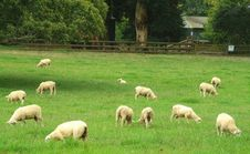 Sheep In The Pasture Royalty Free Stock Photo
