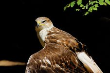 Free Hawk Royalty Free Stock Image - 8264196
