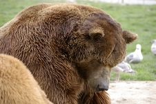 Grizzly Bear Stock Photos