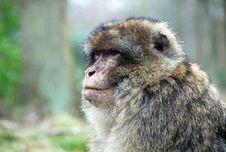Free Barbary Ape Royalty Free Stock Photo - 8265225