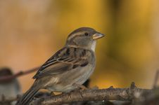 Free Sparrow Royalty Free Stock Images - 8265319