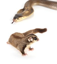 Free Sugar Glider On White Stock Images - 8266864