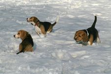 Free Winter Dogs Frolics Stock Photo - 8267750