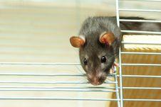Free Rat Royalty Free Stock Photography - 8267767