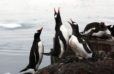 Free Gentoo Penguin Stock Photography - 8268502