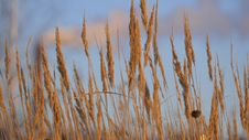 Brown Grass On Blue Sky Background In Winter. Stock Photo