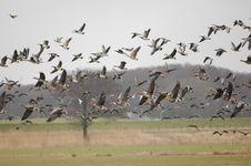 Free Wild Geese On The Run Stock Photo - 8270140