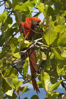 Free Scarlet Macaw Royalty Free Stock Images - 8270169