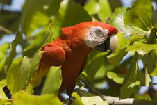 Free Scarlet Macaw Head Royalty Free Stock Image - 8270176