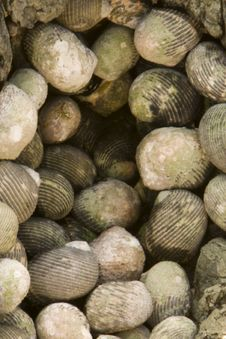 Free Shells Together Stock Photos - 8270183