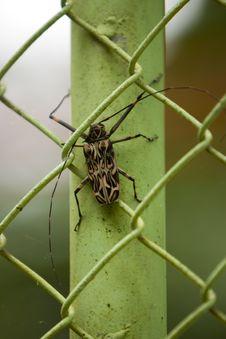 Free Harlequin Beetle Stock Image - 8270191