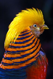 Free Golden Pheasant Stock Images - 8270864