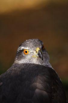 Free Majestic Hawk Stock Photo - 8271020