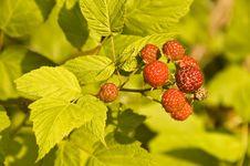 Free Wild Raspberries On The Plant Stock Image - 8271381