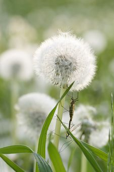 Dandelion And Insects Royalty Free Stock Photos
