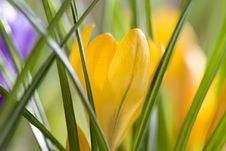 Free Spring Crocus Stock Photography - 8271442