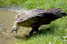 Eurasian Black Vulture 3