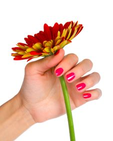 Free Gerbera In Woman Hand Royalty Free Stock Photography - 8272507