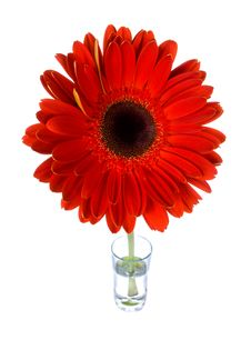Free Red Gerbera In Glass Royalty Free Stock Photography - 8272667