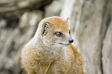 Free Yellow Mongoose Royalty Free Stock Photography - 8274597