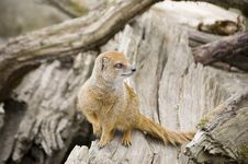 Free Yellow Mongoose On A Tree Stock Photos - 8274603