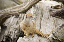 Yellow Mongoose On A Tree Stock Photos