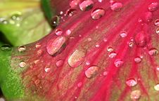 Water Drops On A Red Leaf Stock Photos