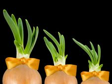 Three Spring Onions Royalty Free Stock Image