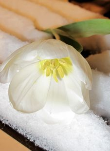 Tulip In The Snow Royalty Free Stock Image