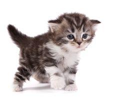 Free Kitten Royalty Free Stock Image - 8277066