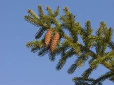 Free Fir Branch With Two Cones Stock Photo - 8277170