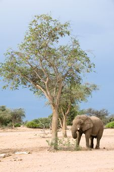 Free Elephant Foraging By Tree Stock Photography - 8277522