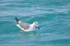 Seagull Looking Into The Water Stock Photography