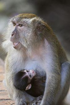 Free Thirsty Monkey Royalty Free Stock Image - 8278016